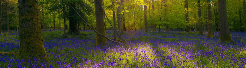 cropped-bluebells.png
